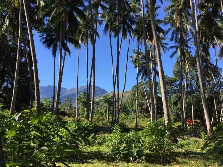 Cocotiers sur l'île de Mindoro